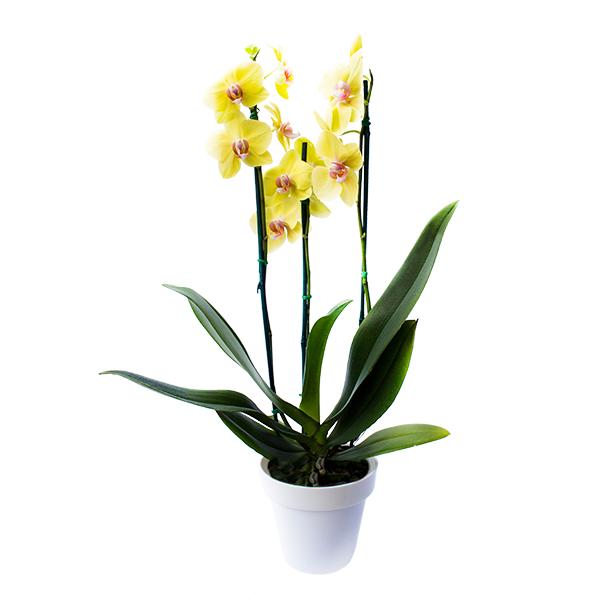 Planta Orquídea Amarilla