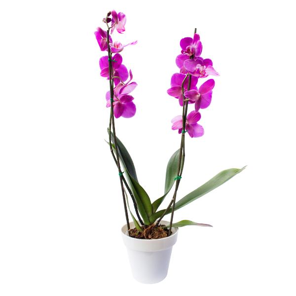 Planta Orquídea Morada