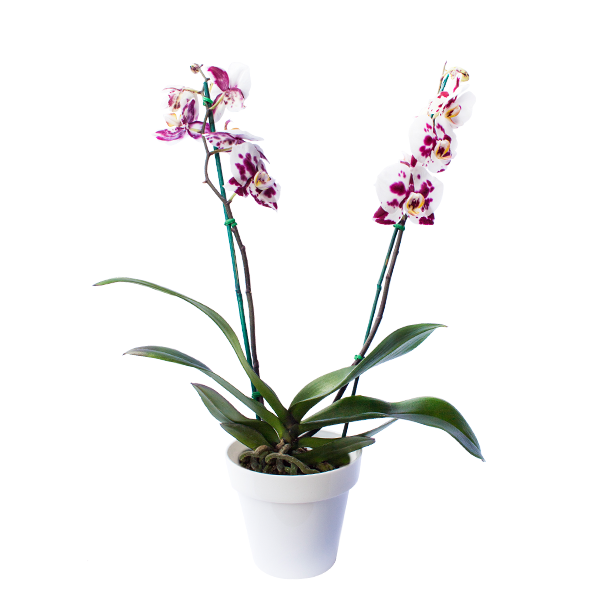 Planta Orquídea Morada/blanco