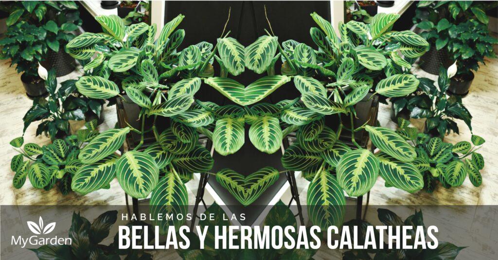 calatheas